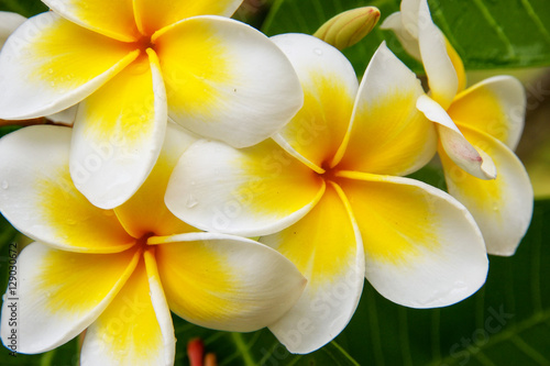 In de dag Frangipani White and yellow plumeria flowers