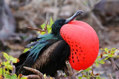 Photo  Male Great Frigatebird on Genovesa Island, Galapagos National Pa