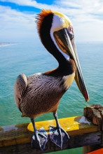 Majestic Pelican On The Pier