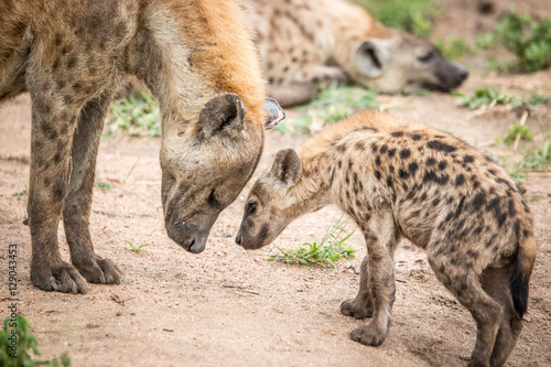 In de dag Hyena Bonding Spotted hyena in the Kruger National Park, South Africa.