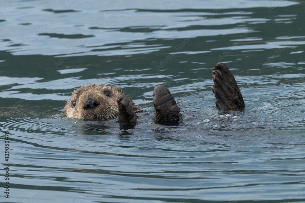 Photo  Sea otter sinking out of sight as our boat passes by in Kenai Fj
