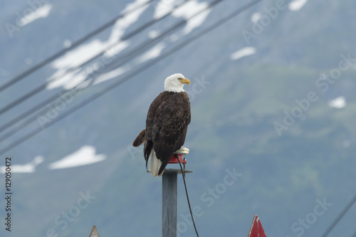Photo  Bald eagle perched at the entrance to Seward harbor in Alaska.