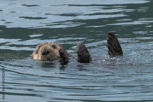 Sea otter sinking out of sight as our boat passes by in Kenai Fj Poster