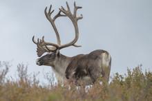 Large Bull Caribou In Denali National Park, Alaska.