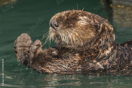 Photo  Sea otter stretching after a rest in Seward harbor, Alaska.