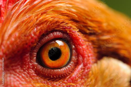Photo  Chicken Eye Macro