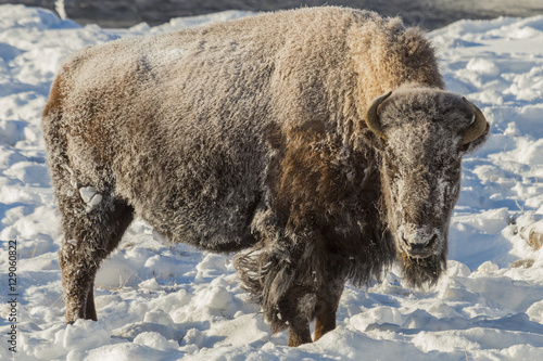 Frosty bison on a cold winter morning in Yellowstone National Pa Canvas Print