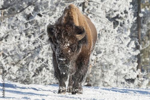 Fotografia, Obraz  Bull bison warming up in the sun in Yellowstone National Park, W