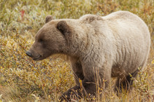 Grizzly Bear Feeding On Soapberries In Denali National Park, Ala