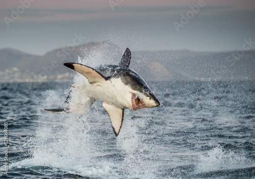 Great White Shark (Carcharodon carcharias) breaching in an attack