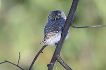 Perching Pygmy Owl At The Branch