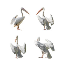 Great Pelican With Open Wings Isolated On White Background. Set Of Images.