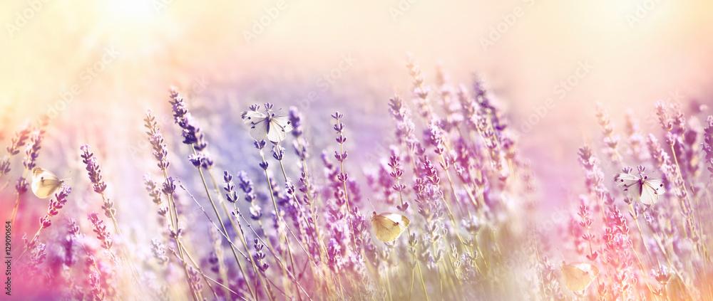 Fototapety, obrazy: Beautiful flower garden - lavender garden and white butterfly