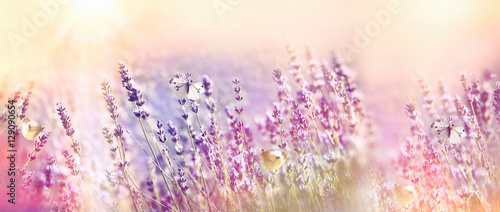 Tuinposter Lavendel Beautiful flower garden - lavender garden and white butterfly