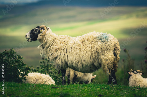 Fotografija  Scottish Blackface sheep