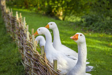 Goose Looking At Camera - Funny White Goose Stretching Its Neck Over Wattled Twig Fence From A Small German Bird Farm