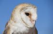 Barn owl on a glove in a desert near Dubai