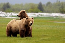 Grizzly Bear Mom And Cub