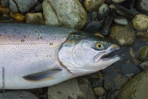 Fotobehang Fresh caught Alaskan silver king sockeye salmon ready to be cleaned
