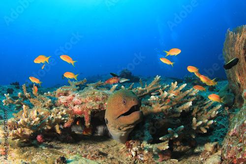 Staande foto Koraalriffen Giant Moray Eels