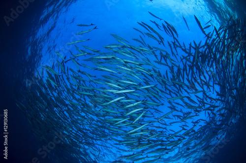 Papiers peints Recifs coralliens School Barracuda fish