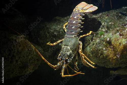Common spiny lobster (Palinurus elephas).