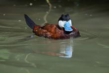 Ruddy Duck (Oxyura Jamaicensis).