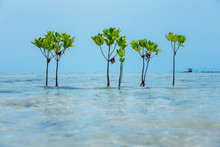 Group Of Mangrove Trees At Wat...