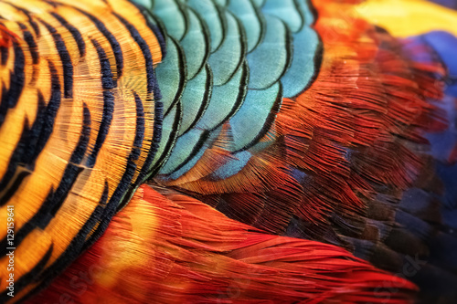 Fototapeta Beautiful abstract background consisting of golden pheasant