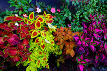 Coleus. Different Varieties. H...