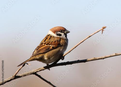 Fotografía tree sparrow, passer montanus