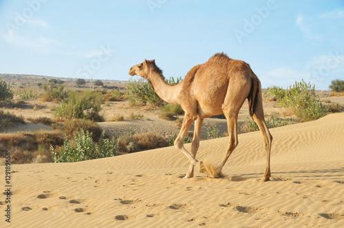 Spoed Fotobehang Kameel Camel Walking In Desert