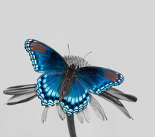 Red-spotted Purple Admiral On Echinacea Flower, Color Spot On Black And White