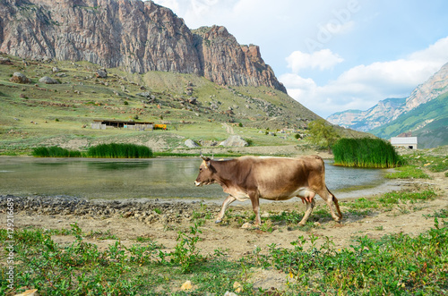 Fotografia, Obraz  The cow goes to the watering hole to a mountain lake