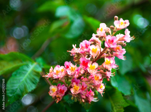 Bunch of pink flowers of the horse chestnut tree buy this stock bunch of pink flowers of the horse chestnut tree mightylinksfo