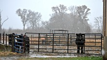 Cattle Standing At The Gate On...