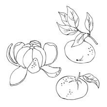 Vector Simple Contour Sketch Of Mandarin