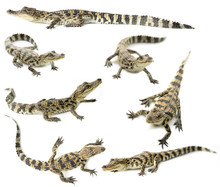 Young Siamese Crocodile Isolated