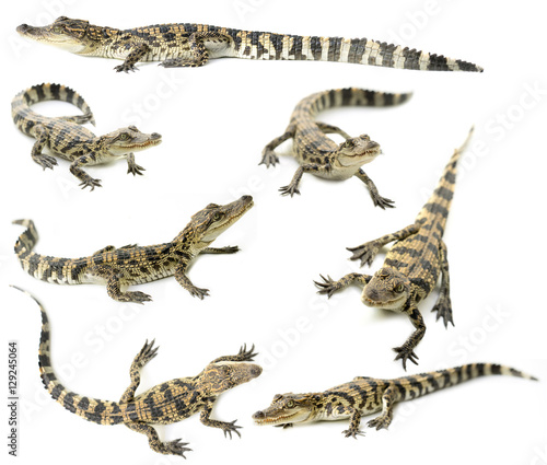 Poster Crocodile young siamese crocodile isolated