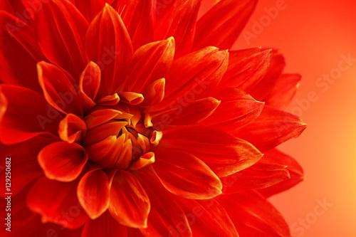 Poster de jardin Dahlia Beautiful red dahlia flower, closeup