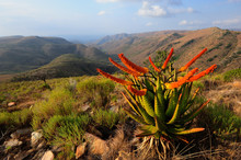 Blooming Aloes In The Mountains
