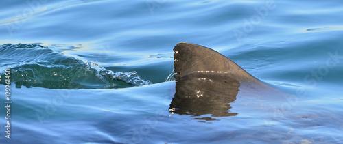 Shark fin above water Wallpaper Mural
