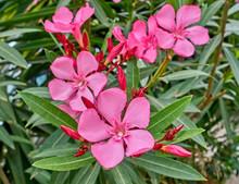 Pink Oleander Flowers Natural Bouquet Closeup