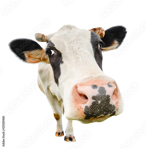 Keuken foto achterwand Koe Funny cute cow isolated on white. Talking black and white cow close up. Funny curious cow. Farm animals. Pet cow on white. Cow close looking at the camera