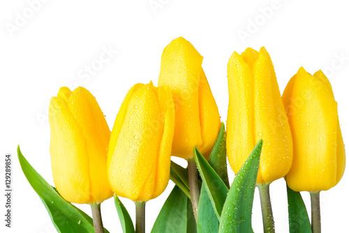 Foto op Plexiglas Tulp wet flowers yellow tulips on a white background closeup