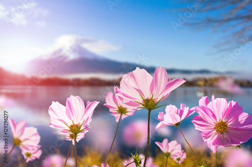 Foto auf Gartenposter Kosmos Pink cosmos flower blooming with translucent at petal on blurred Fuji mountain background