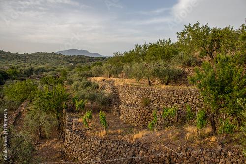 Fényképezés  Terrazze di ulivi sull'Etna