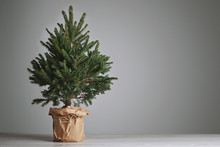 Pretty Bushy Danish Christmas Tree Without Decorations In A Large Pot Wrapped In Craft Paper With Space For Your Message On Light Gray Background