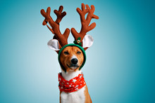 Close Up Portrait Of Funny Beautiful Dog Wearing Christmas Deer Rudolph Costume, Looking On Camera, Isolated On Winter Blue Background