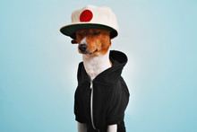 Sitting Thoughtful Brown And White Dog Wearing Black Shortsleeve Fleece Hoodie And A Cool Large Black And White Vintage Felt Baseball Hat Isolated On Blue